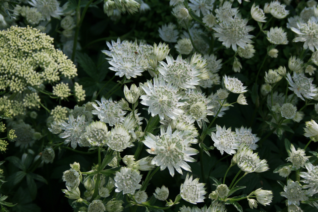 "Stevia de munte ""White Giant"" (Astrantia major)"