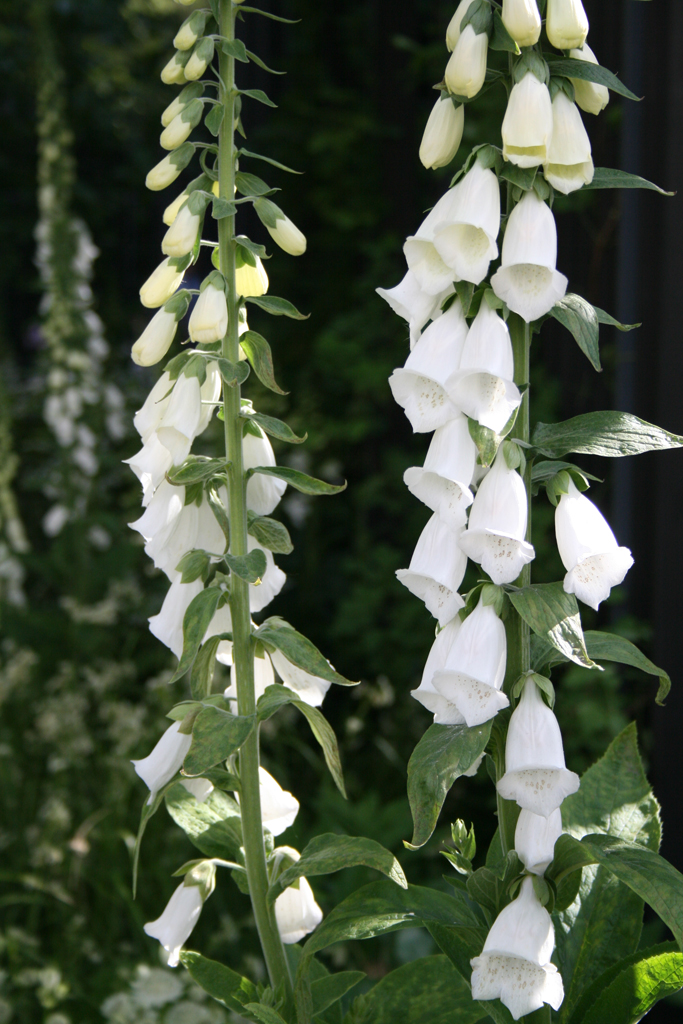 "Superbul digitalis ""Saltwood Summer"""